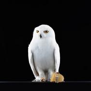 SIGNET-ANIMALS-OWL-V1-JS.jpg