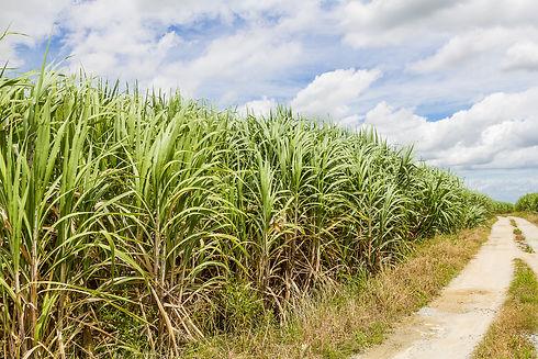 sugarcane2.jpg