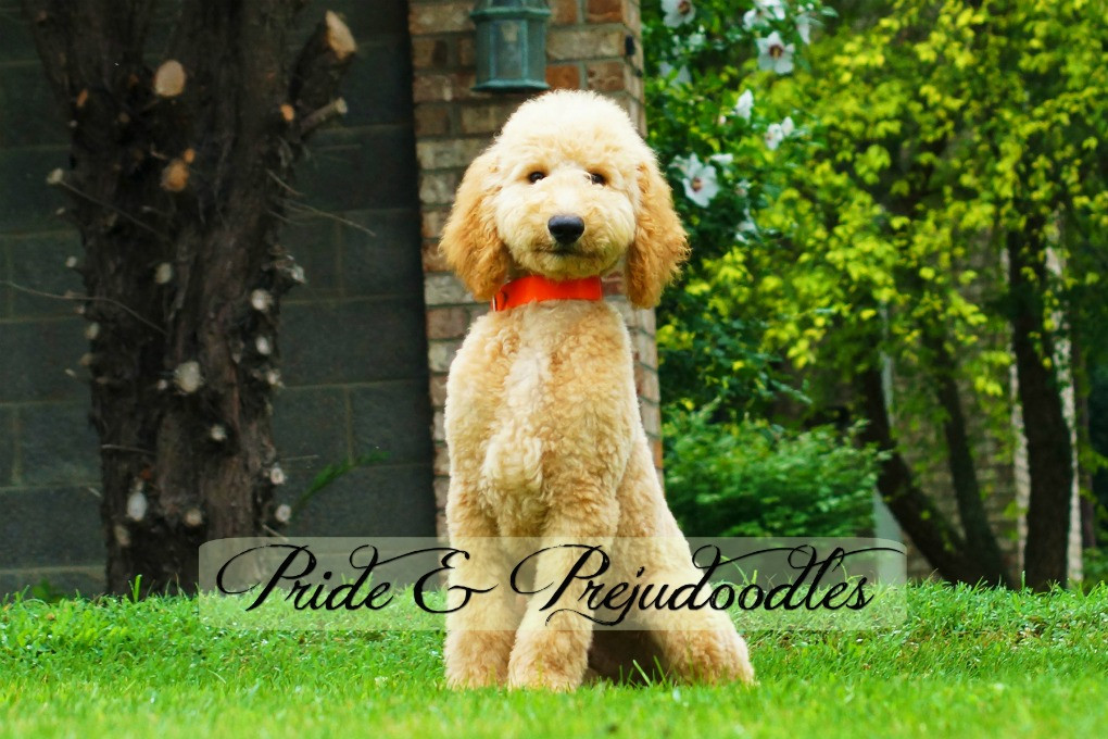Pride and Prejudoodles | Hypoallergenic Pets | Trained Doodles