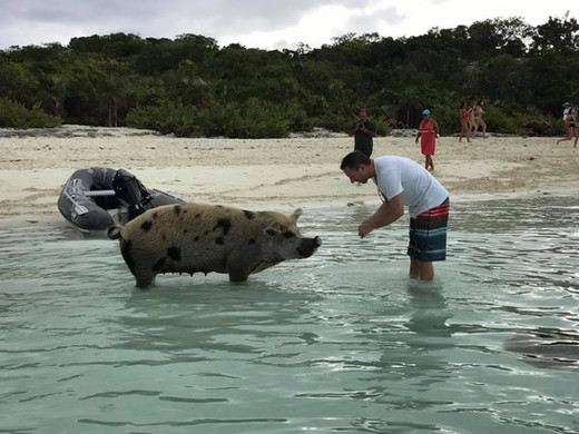 The swimming pigs of Big Major Cay