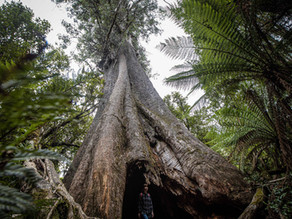 Gondwana links and logging