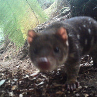 Spot Tailed Quoll. Blue Tier camera trap