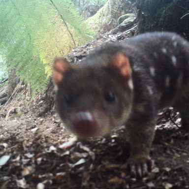Spot Tailed Quoll, Blue Tier camera trap
