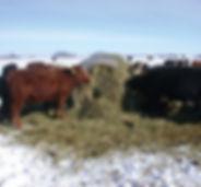 cattle grazing.jpg