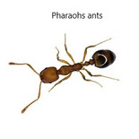 Pharaohs ants.jpg