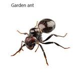Garden ant.jpg