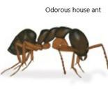 Odorous house ant.jpg