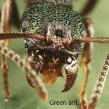 Green ant.jpg