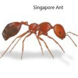 Singapore ant.jpg