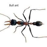 Bull ant.jpg