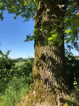 Merveilleux chêne de nos campagnes.