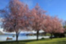 Wanaka-Spring-Blossoms-GM.JPG