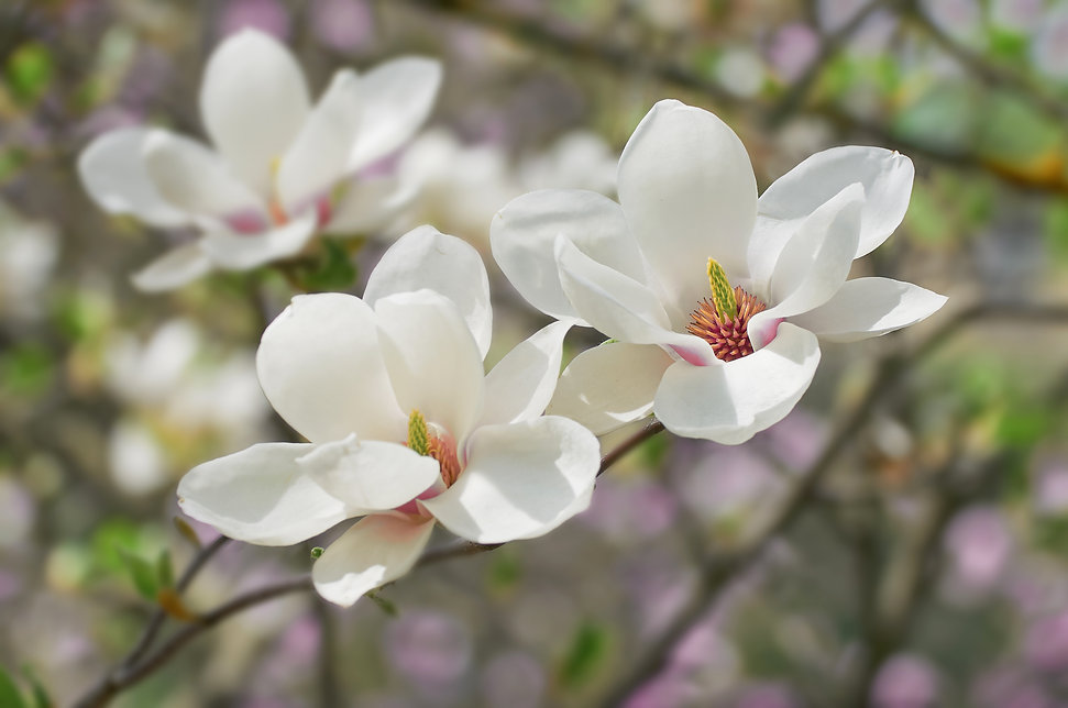 White Magnolia flowers bloom on backgrou