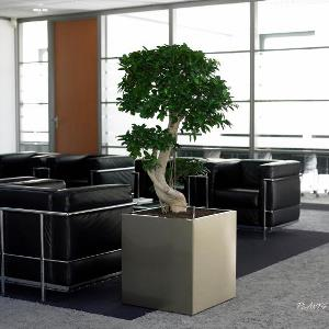Bonsai Tree in Office