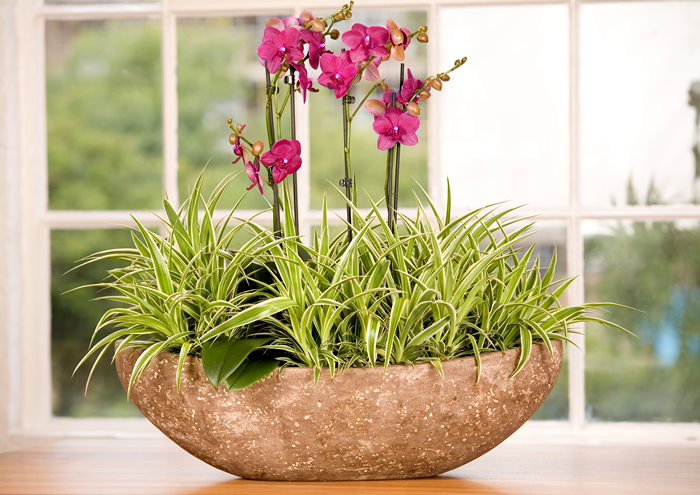 Pink Orchids in stone bowl