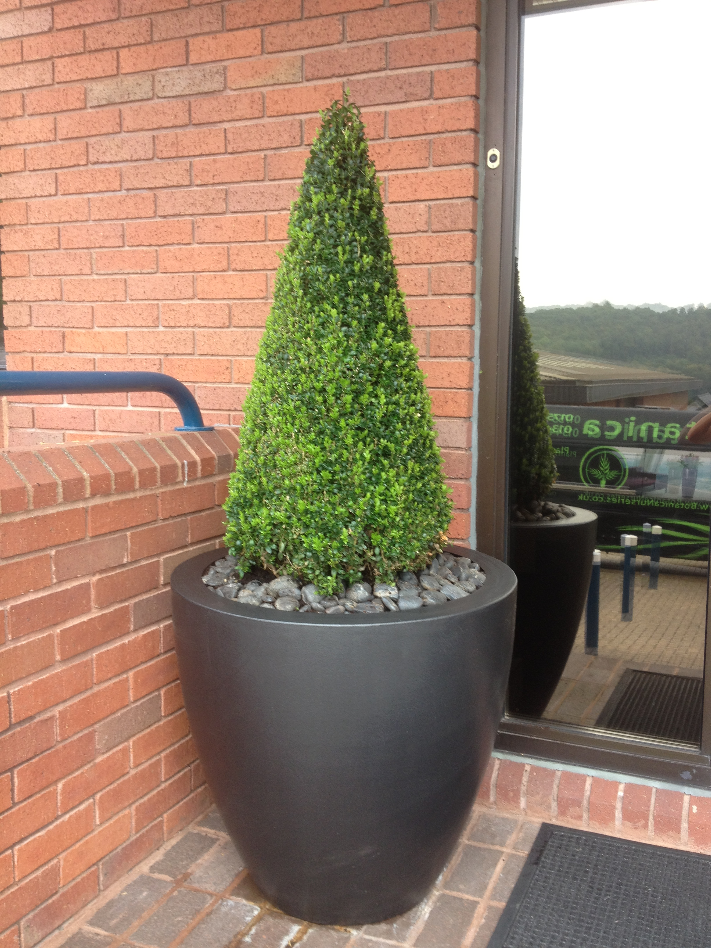 buxus trees for offices