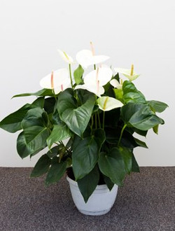 Anthurium flowers for offices