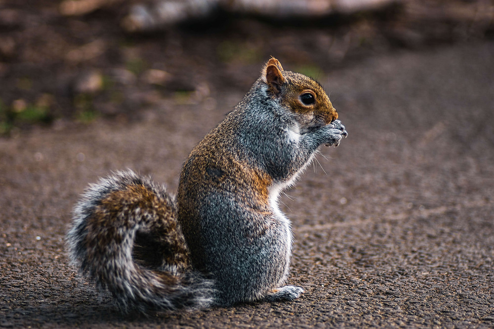 Cute squirrel holding its paws to its mouth