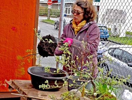 Creating Container Gardens with Japanese Maples