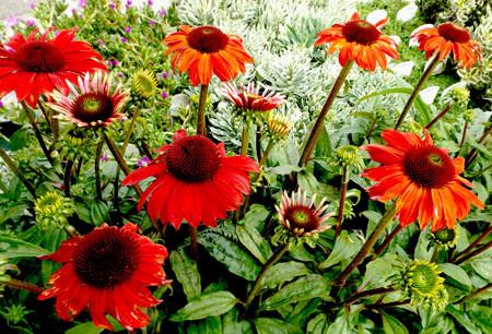 red echinacea.jpg