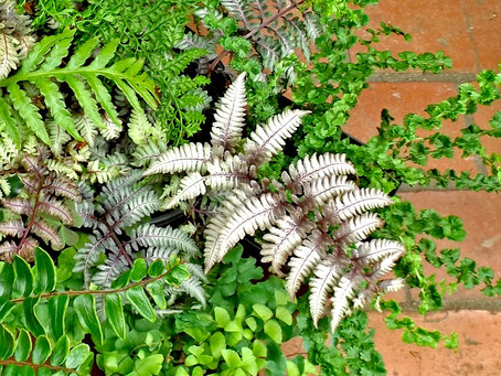 So Many Ferns - Too Little Shade