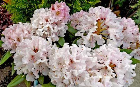 Rhododendrons That Stay Small