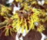 Witch hazel blooms.jpg
