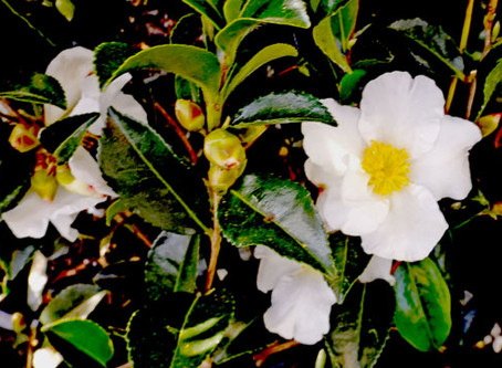 Consider Camellias