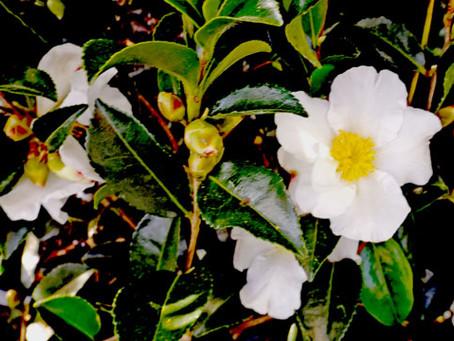 Consider Camellias