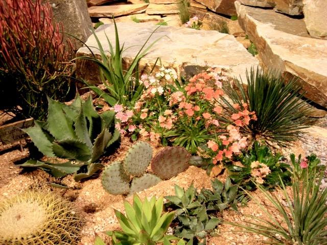 "Lower left corner, Golden barrel cactus; top left corner, ""Sticks on Fire;' below that, Agave; Prickly pear cactus has round leaves; bright colored flowers belong to Lewisia."
