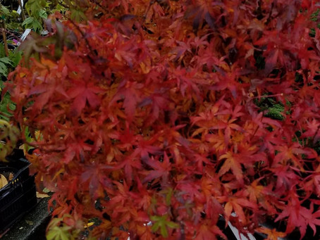 Fall is the time to plant spectacular maples (or anything else)