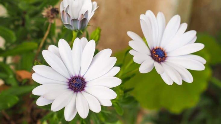african-daisies-1024x683.jpg