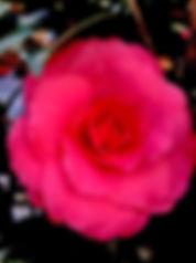 hot pink camellia.jpg