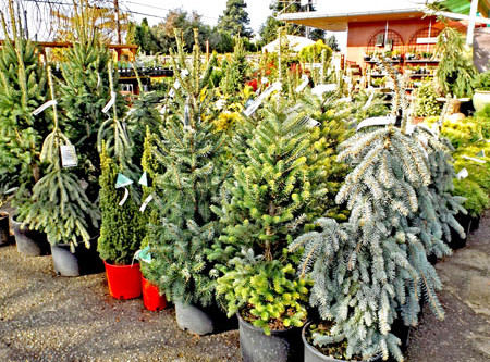 Let Us Help You Choose and Care for a Living Christmas Tree