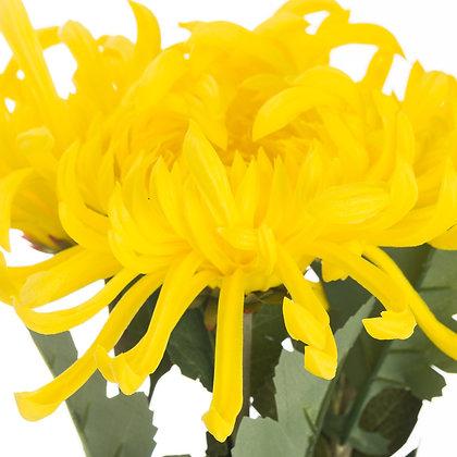 Spider Chrysanthemum Yellow