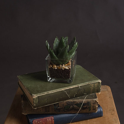 Miniature Aloe Vera in Glass Pot