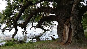 Eiche, Fluß Thaya