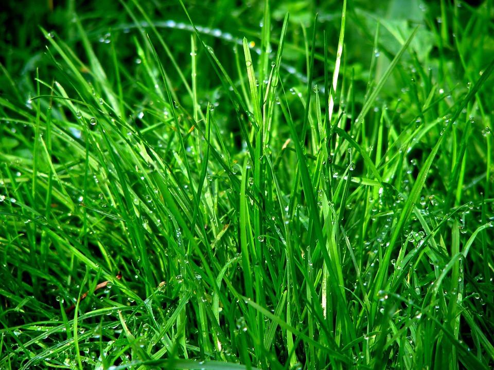 bewässerter Rasen, feuchter Rasen, Wiese