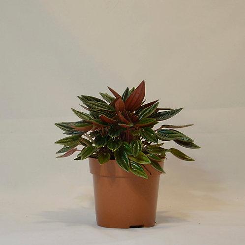 Zwergpfeffer - Peperomia caperata 'Rosso'