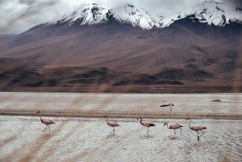 Wilde Pelikane Bolivien