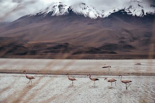 Wild Flamingos Bolivia