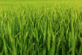 Grünes Gras Vietnam Reis