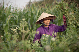 Ricefield Vietnam