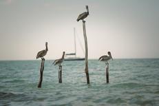 Isla Holbox Pelican