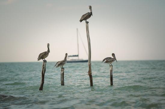 Pelikane in Mexiko