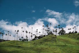 Wax Palmtrees Colombia Salento