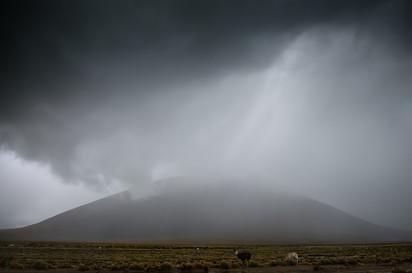 WIld Lamas South America