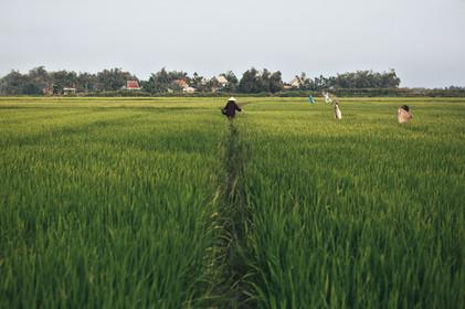 Reisfelder Vietnam