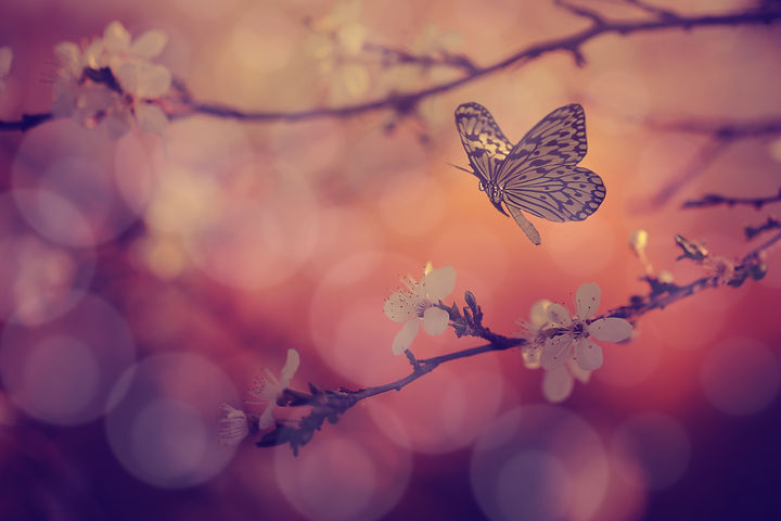 Butterfly and cherry blossoms in sunset