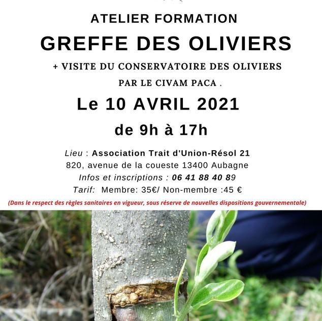 Atelier Formation Greffe des oliviers (4